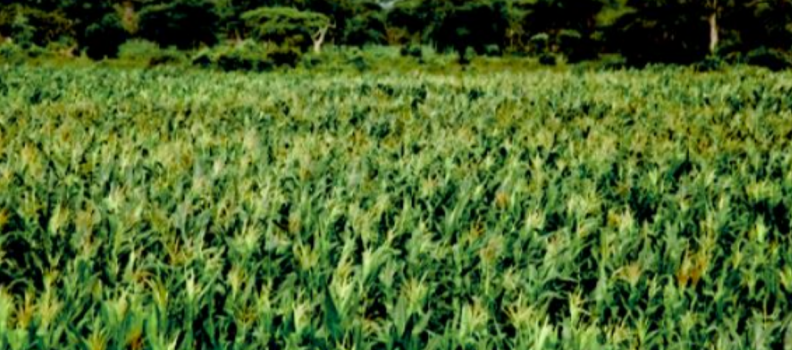Agricultural Value Chains Bridging the Kenyan Food Security Gap